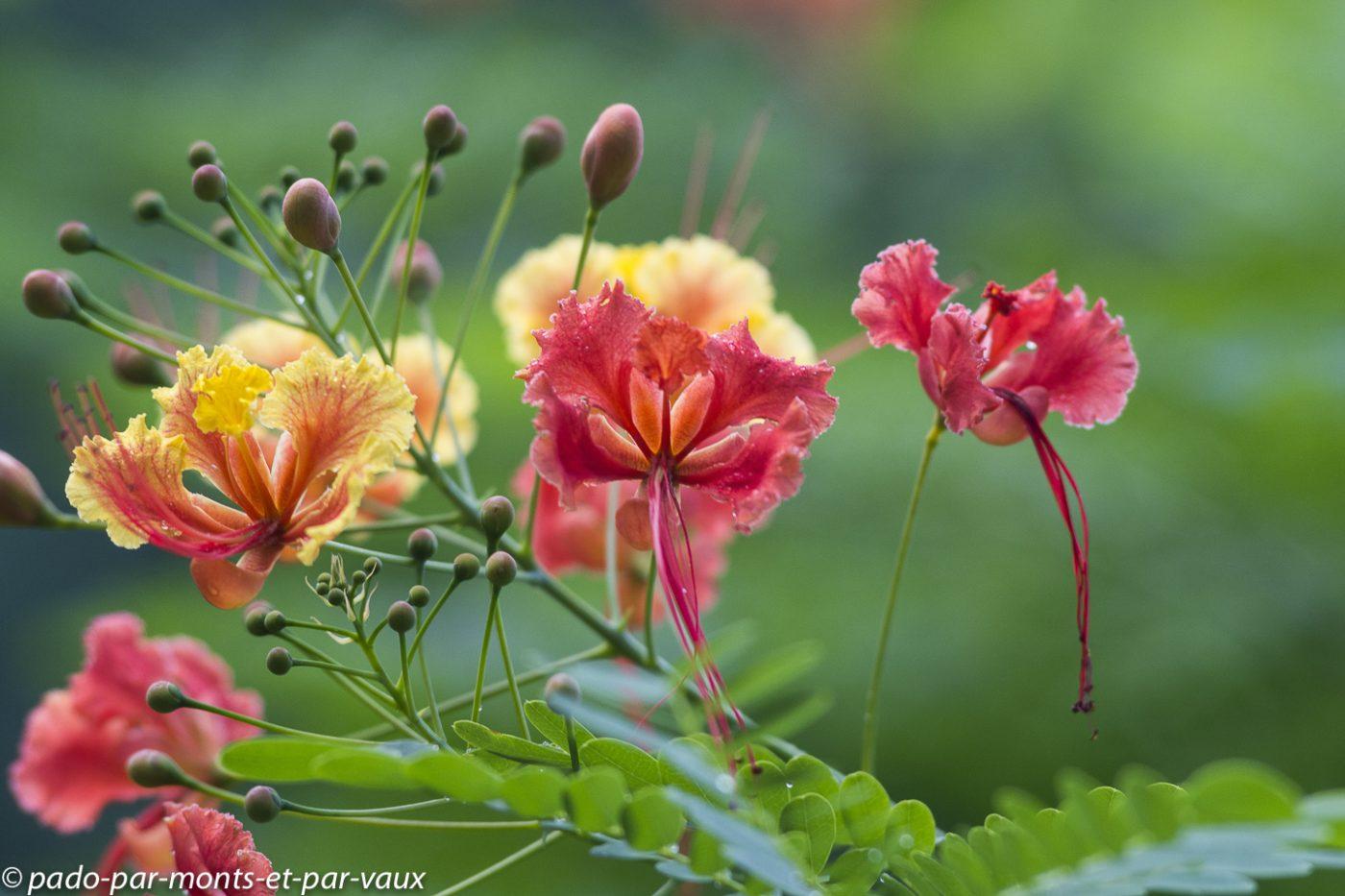 2021- Jardin Deshaie-Flamboyant-nain