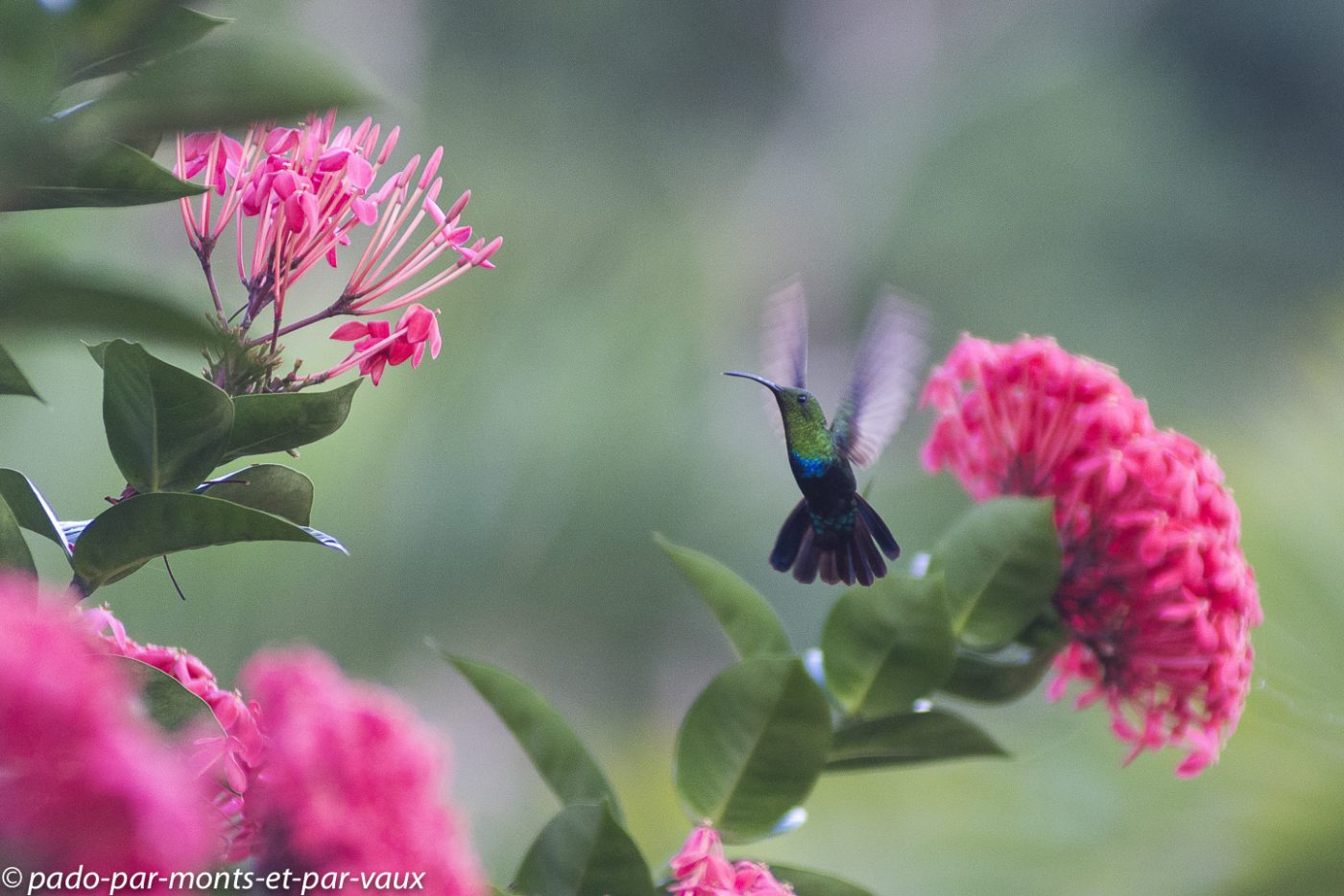 2021- Les Saintes-Colibri phalle vert
