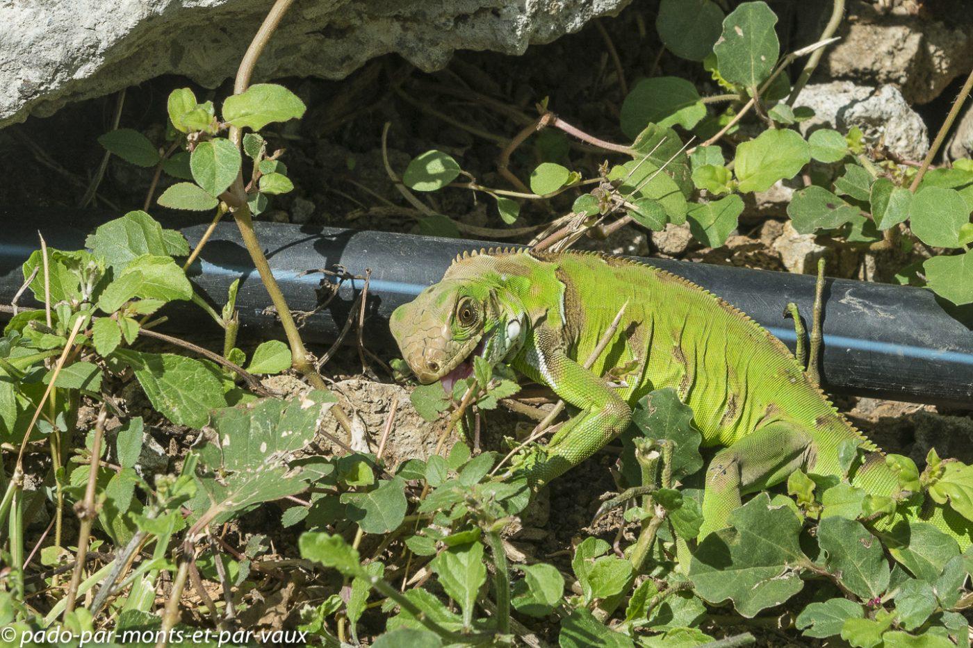 2021- Les Saintes Iguane vert