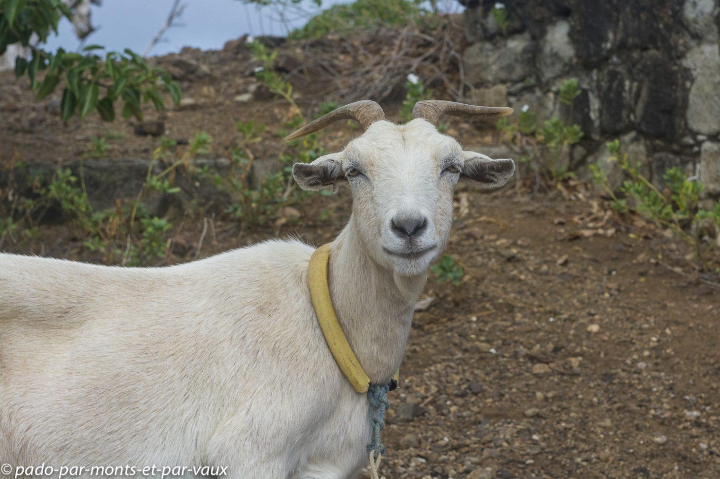 2021- Les Saintes chèvre